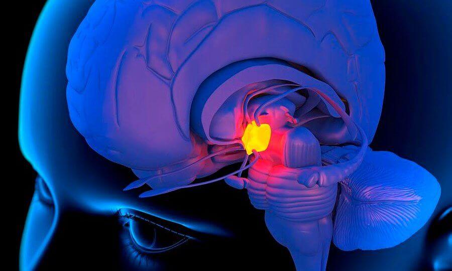 Расположение железы внутри головного мозга