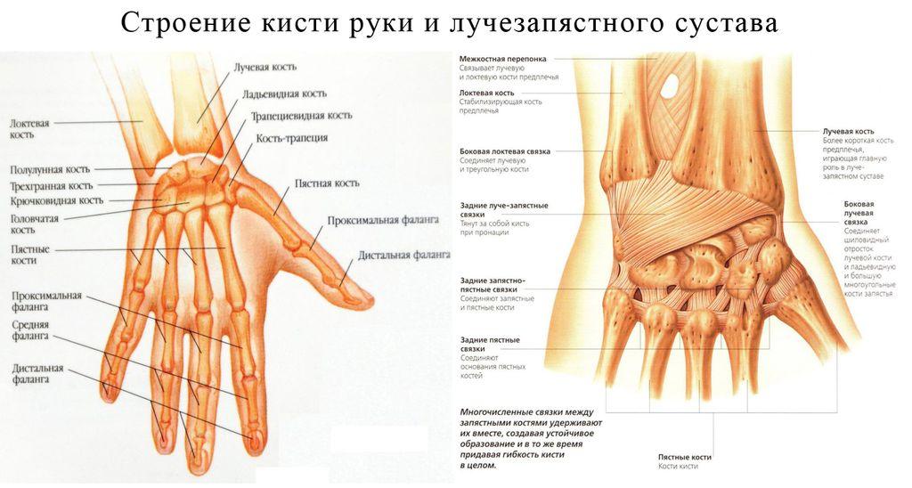 Строение кисти руки и лучезапястного сустава