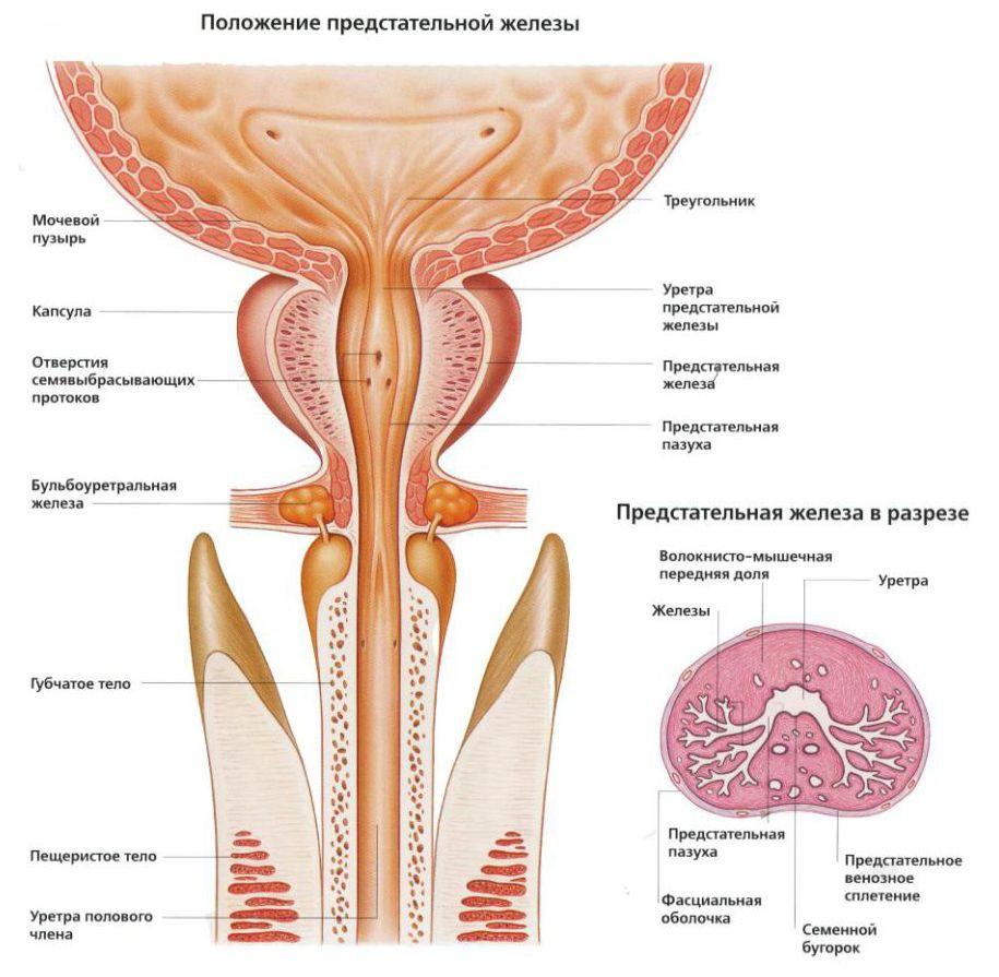 Положение предстательной железы