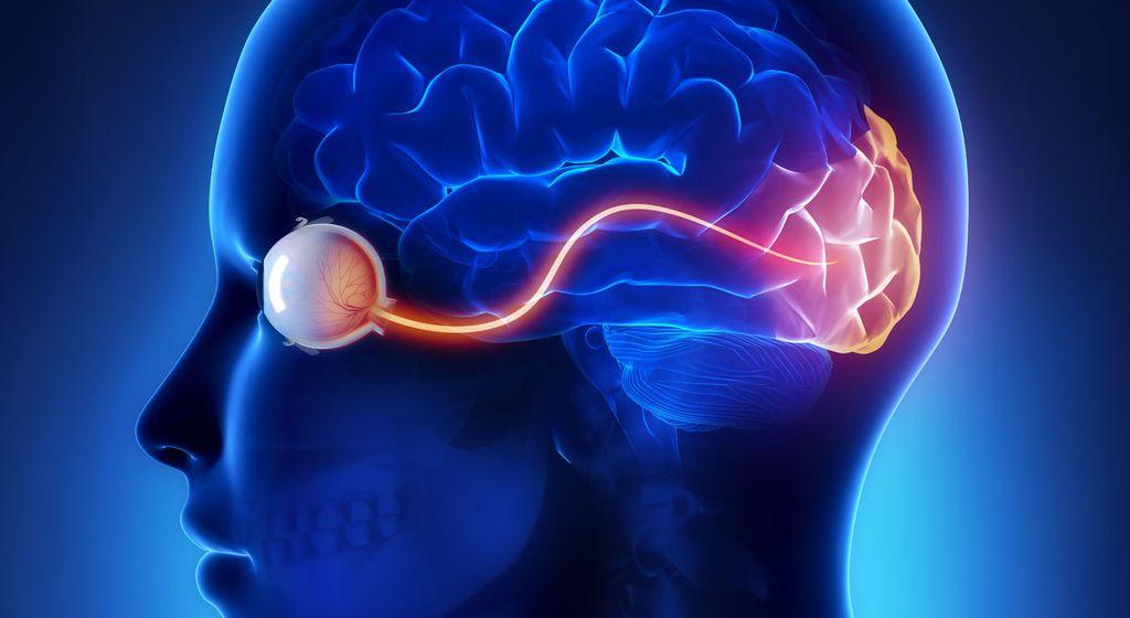 Органы зрения человека