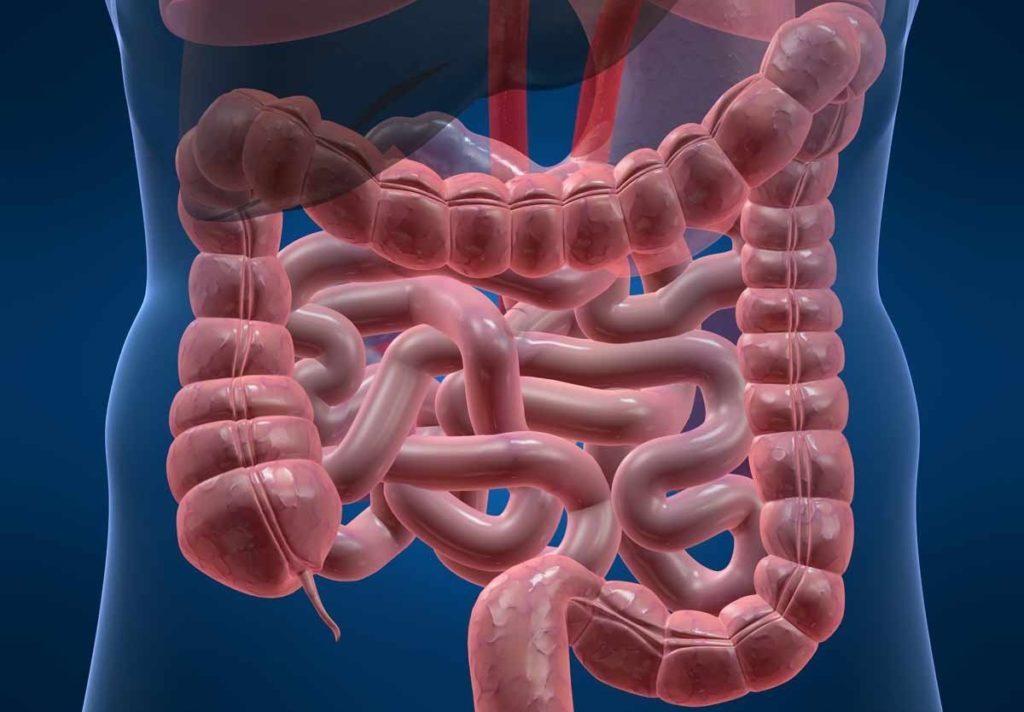 Расположение кишечника в теле человека