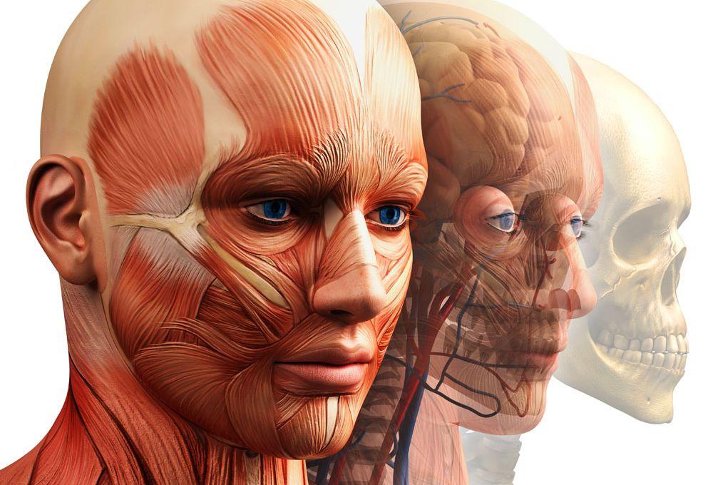 Внутренне строение головы
