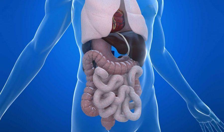 Расположение внутренних органов человека