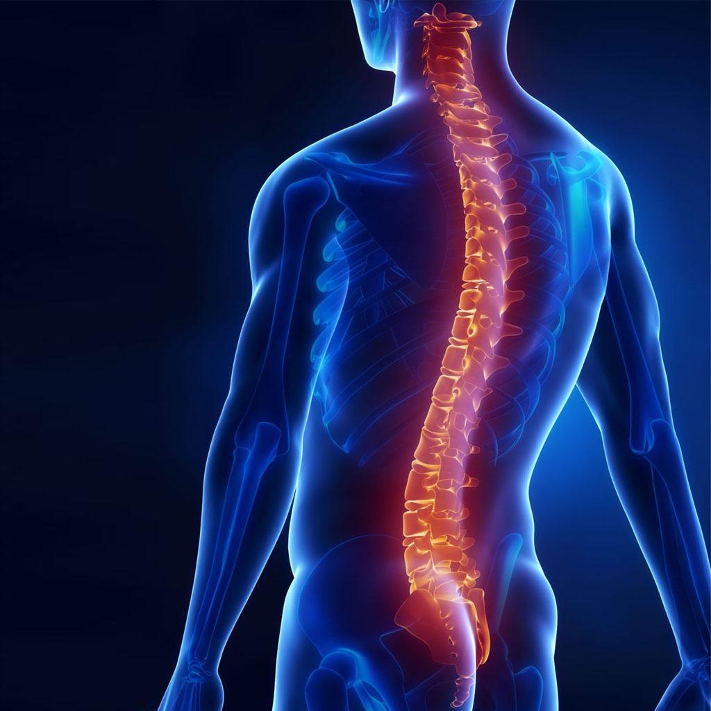 Положение позвоночного столба в теле человека