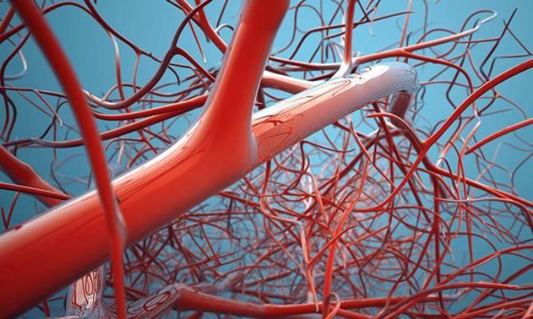 Артерии и вены человека