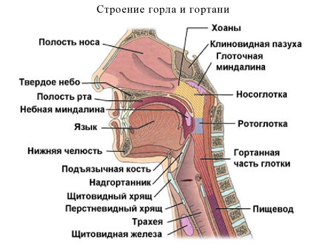 Внутреннее строение горла и гортани