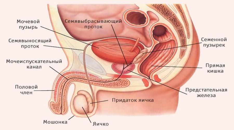 Строение наружных половых органов у мужчин