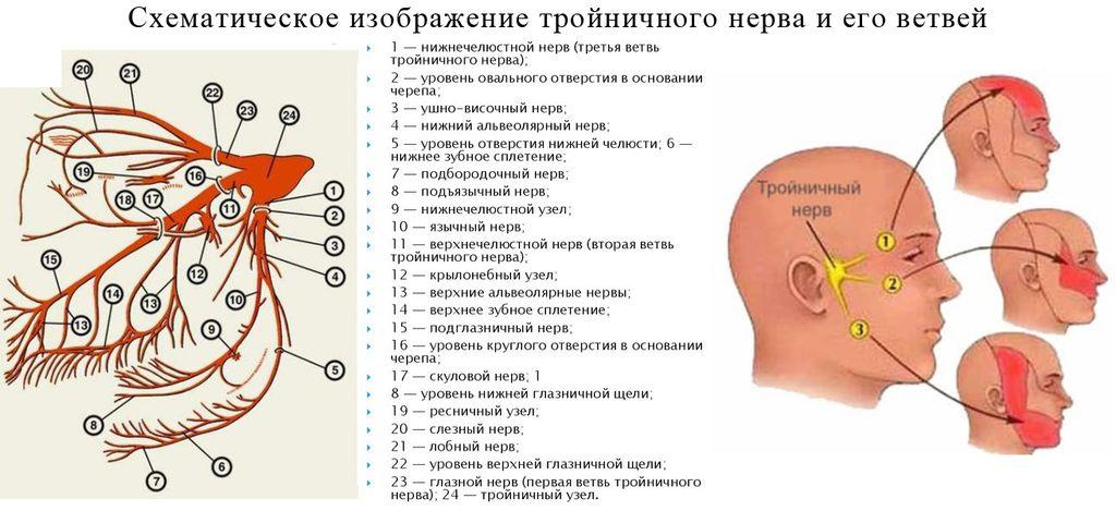 Строение тройничного нерва и его ветвей