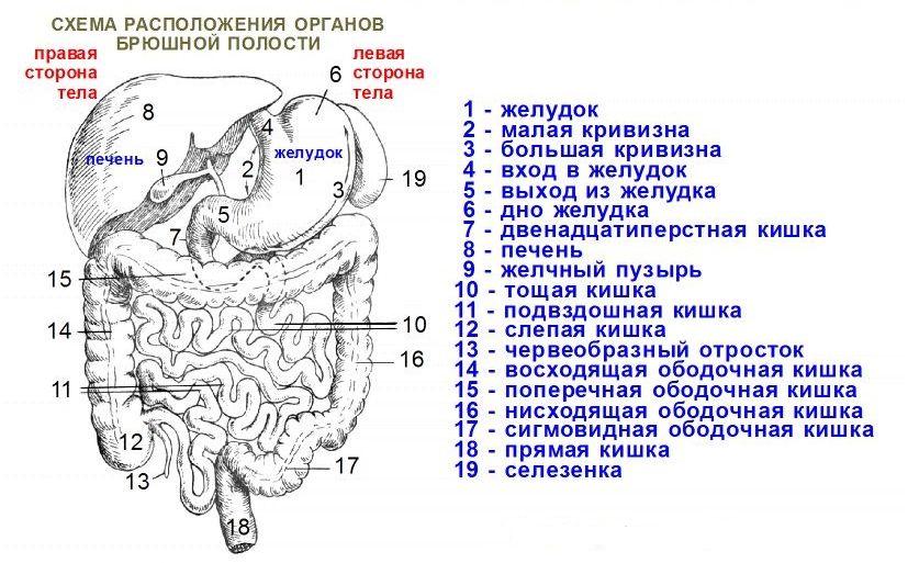 Строение органов брюшной полости