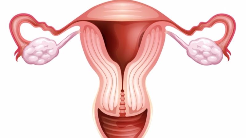 Внутреннее строение женских половых органов